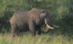elephants-rwenzori-np.jpg